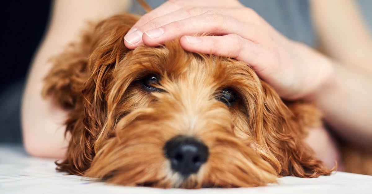 cane ha la febbre