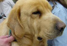 sinechie iridee del cane