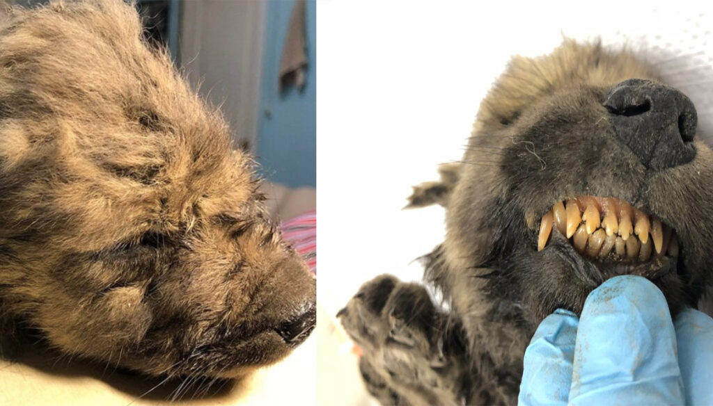 Siberia, lupo-cane di 18mila anni fa ritrovato congelato