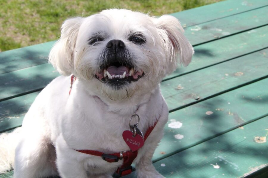 cagnolino bianco su una panchina