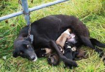 mamma-cane-e-costretta-ad-allattare-i-propri-cuccioli-da-incatenata
