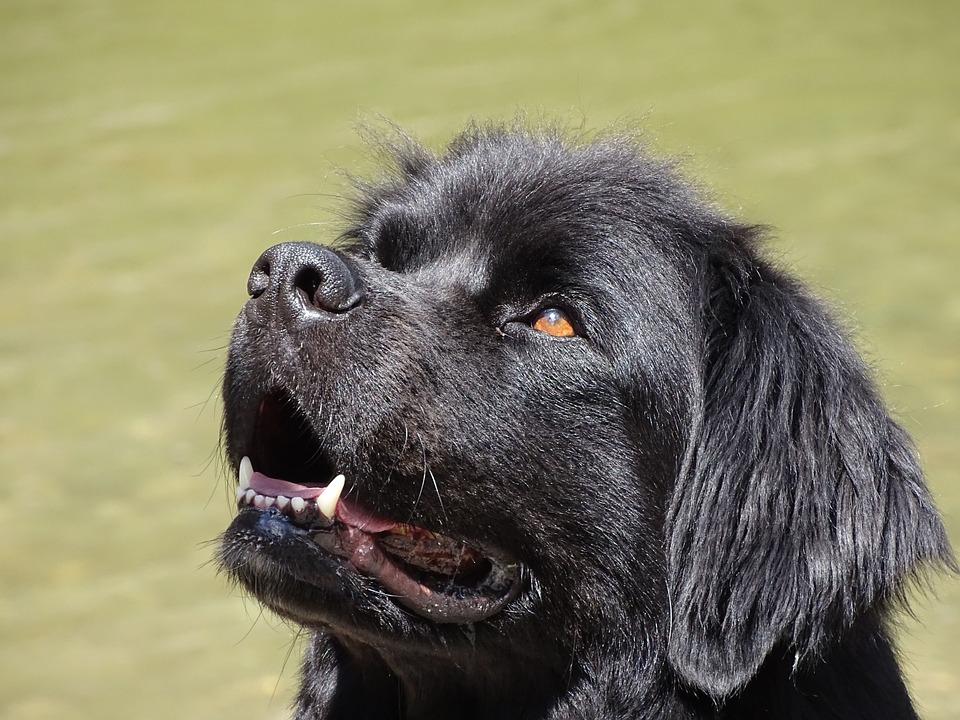10 razze di cani giganti che si sentono piccoli per sempre