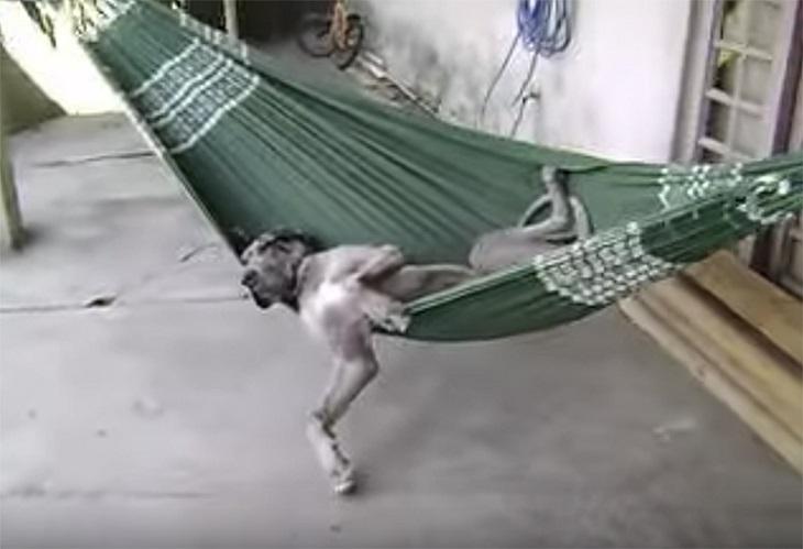 Il cane schiaccia un profondo pisolino sull'amaca, il video è esilarante