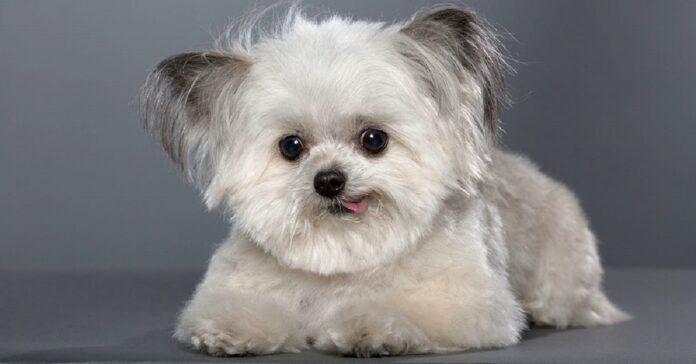 norbert-il-minuscolo-cane-da-terapia-che-infonde-felicita-a-tutte-le-persone