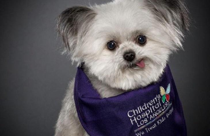 Norbert, il minuscolo cane da terapia che infonde felicità a tutte le persone