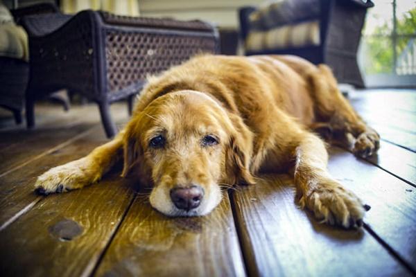 Petechia ed ecchimosi nel cane: quali soluzioni adottare