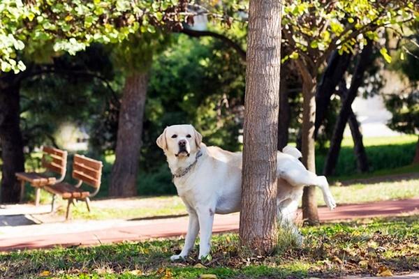 labrador al parco