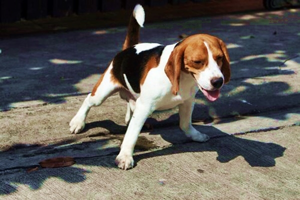 piccolo beagle che fa pipì