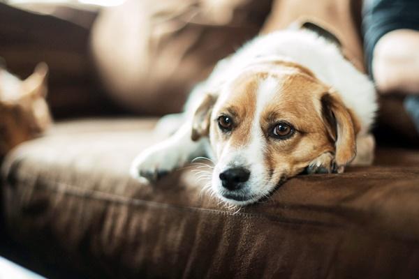 cane dorme sul divano