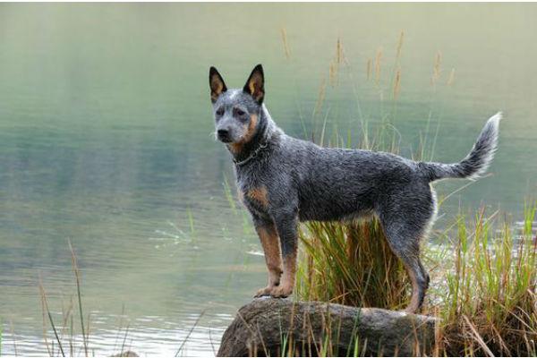 Razze di cani australiane: tutte le più famose e cosa sapere