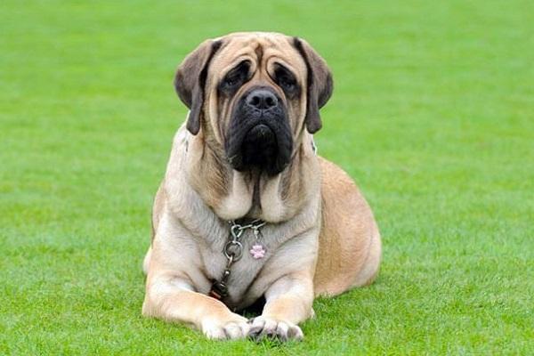 cane mastino inglese
