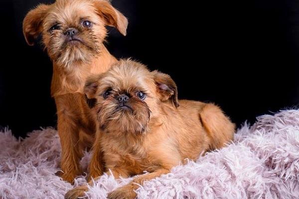 griffoni di bruxelles cani