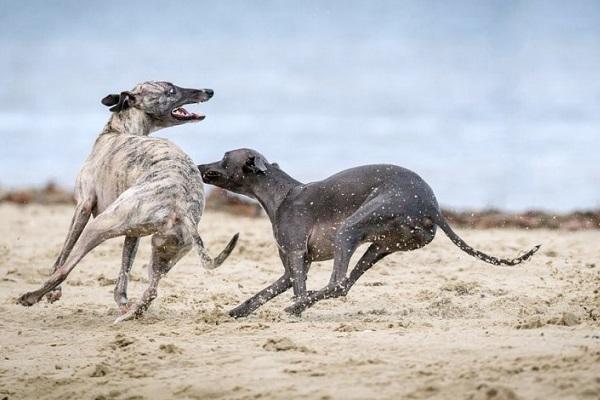 cani saluki che corrono