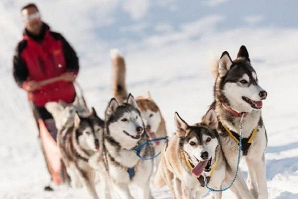 Alaskan malamute cane nella neve