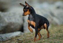 cucciolo di cane doberman pinscher