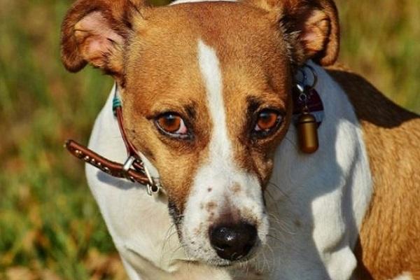 Foxhound americano cane