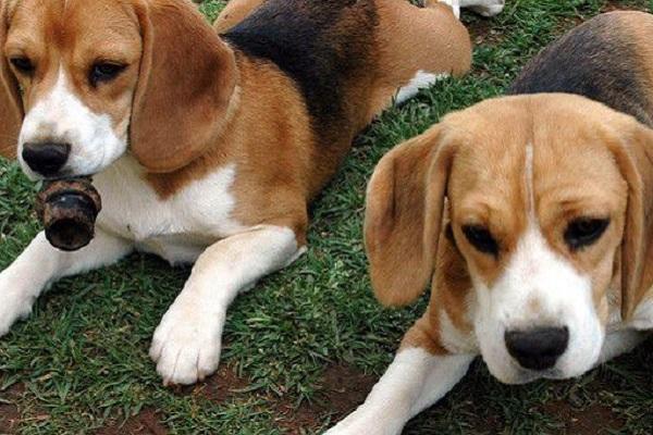 cuccioli di cane Foxhound americano