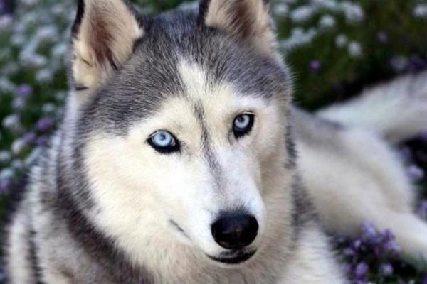10 razze di cani che odiano lavorare o svolgere compiti