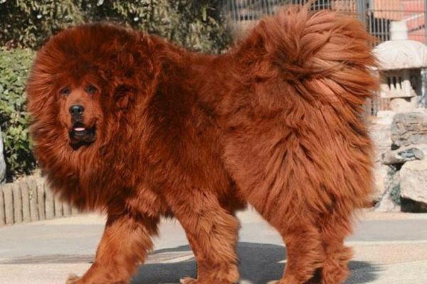 cane gigante