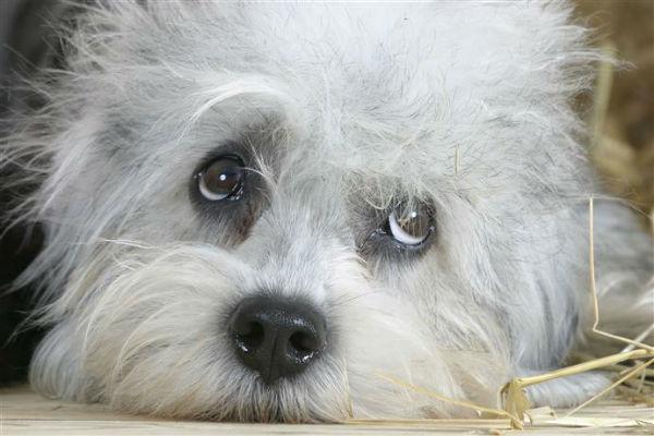 10 razze di cani con gli occhi grandi che devi proprio conoscere