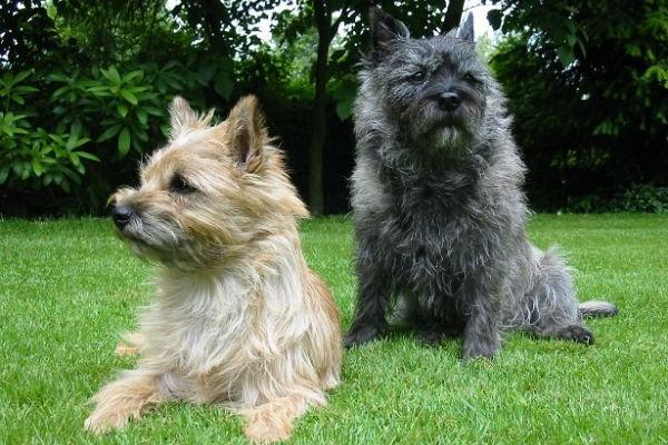 Razze di cani da guardia: le 15 migliori e più affidabili