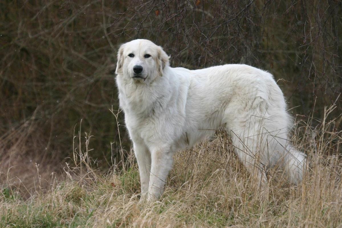 Razze di cani da guardia: le 20 migliori e più affidabili