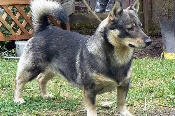Vallhund svedese cane