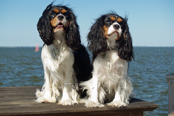 Cavalier King Charles Spaniel cani