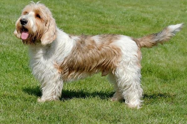 Petit basset griffon vendeen cane