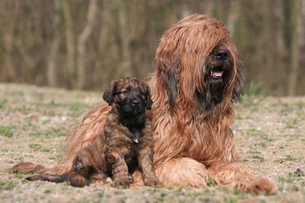 Briard cani