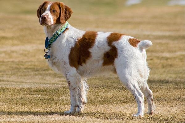 breton cane