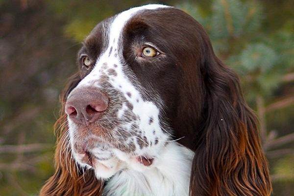 Spaniel francese cane