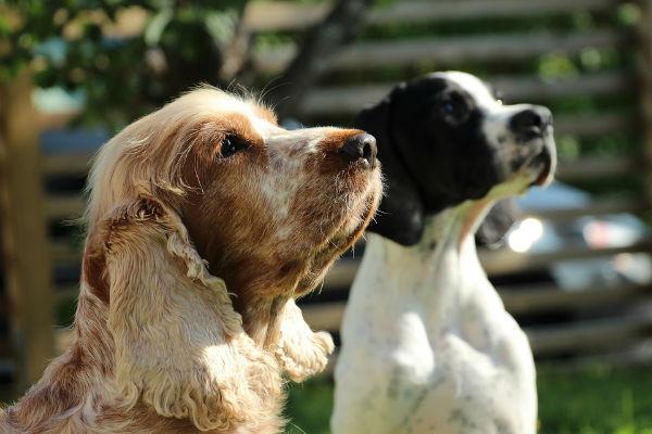 cani che guardano