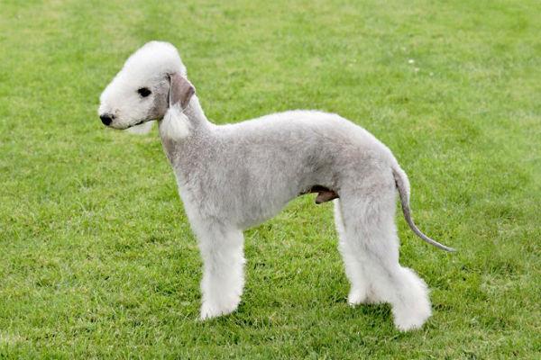 cane pecora