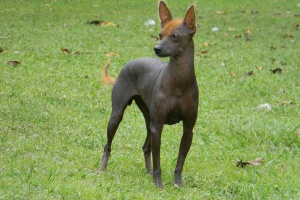 Perro pila argentina cane