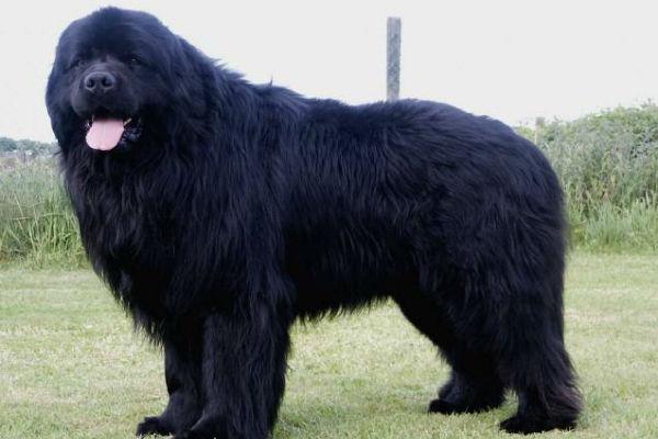 cane grosso