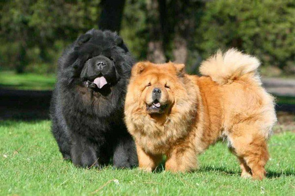 due cani chow chow