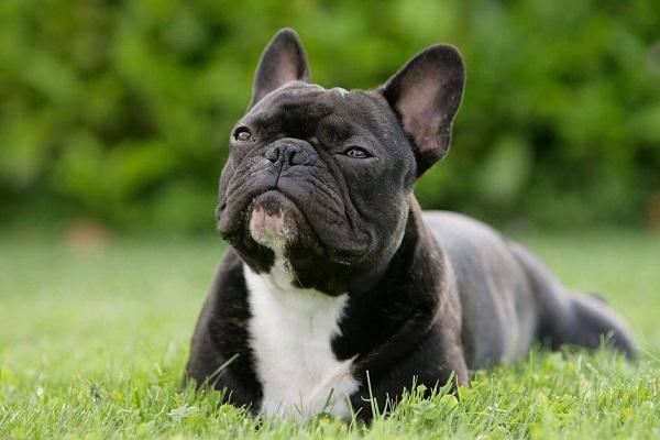 Razze di cani brachicefale, quali sono e cosa bisogna sapere