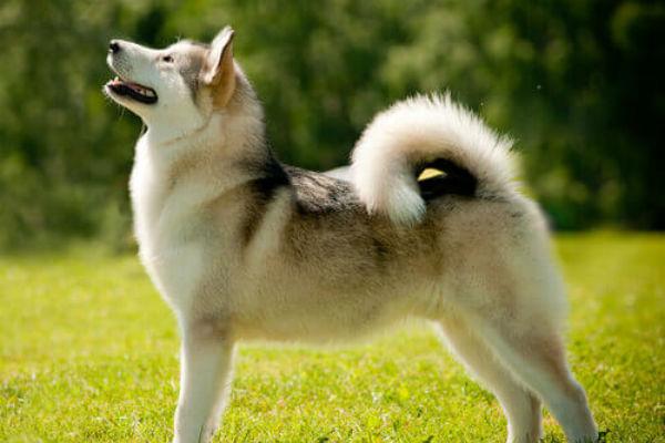 7 razze di cani piccoli con la coda arricciata, veramente adorabili