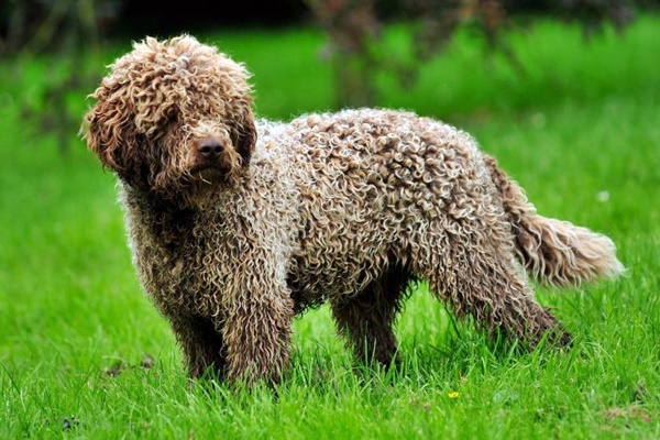 Cani ipoallergenici: ecco 13 razze che minimizzano i sintomi