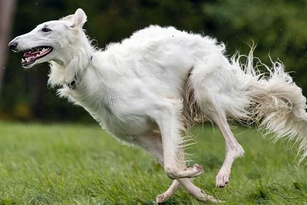 Razze di cani poco obbedienti: con loro non c'è partita