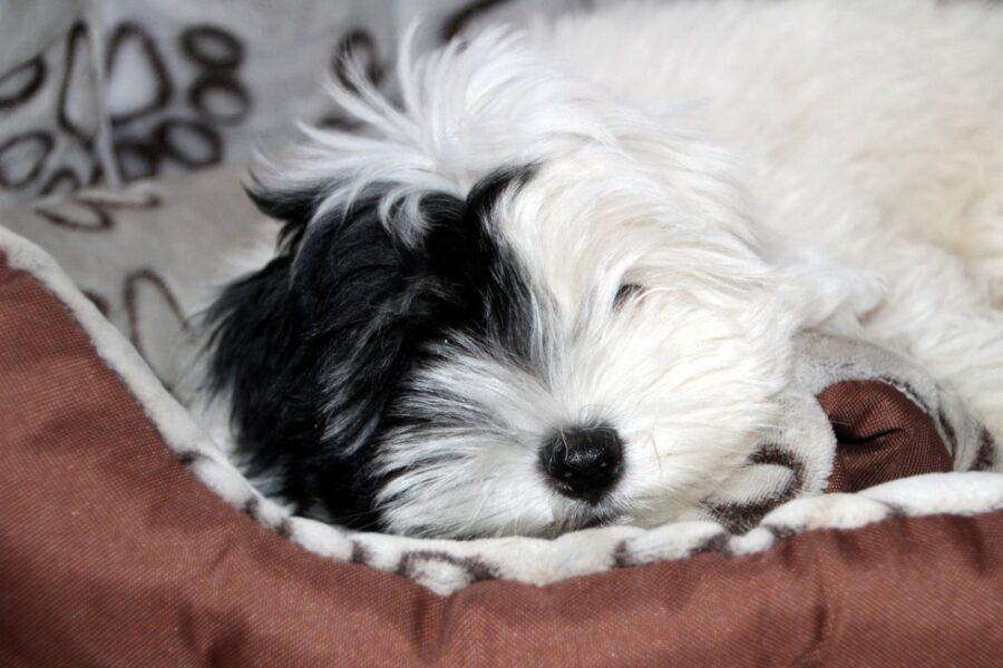 cagnolino che dorme