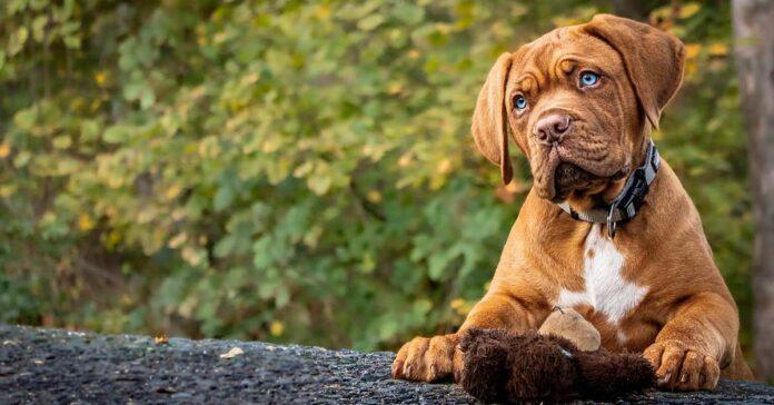 Qual è l'età giusta per addestrare il cane?