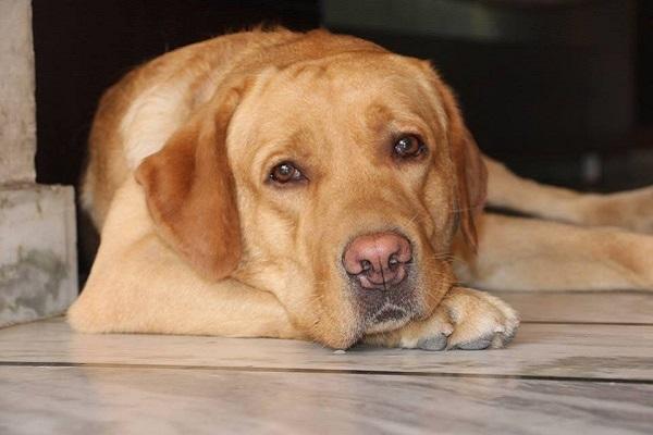 Segnali di travaglio nel cane: quali sono e cosa fare
