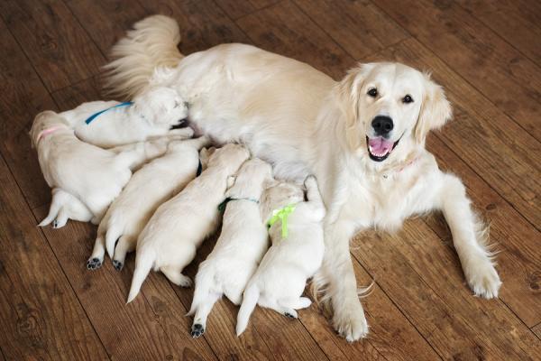 Seno del cane dopo l'allattamento: quando ritorna normale?