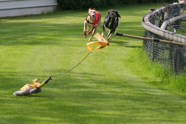 coursing dog