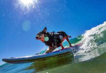 dog surfing