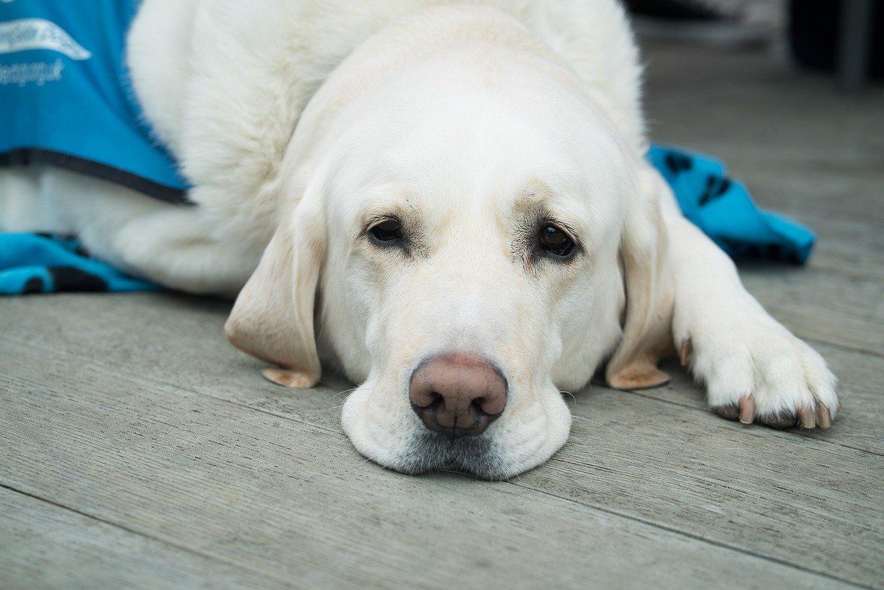 cane grande bianco si riposa
