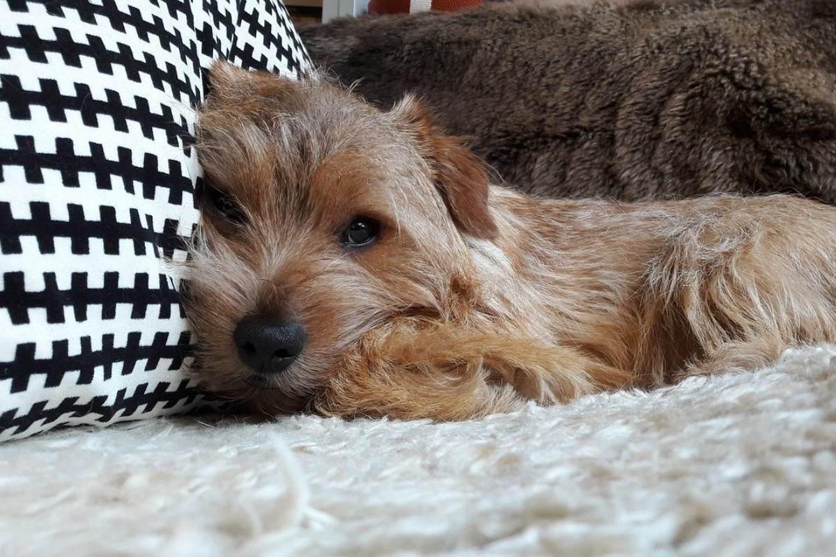 cagnolino che dorme sul cuscino
