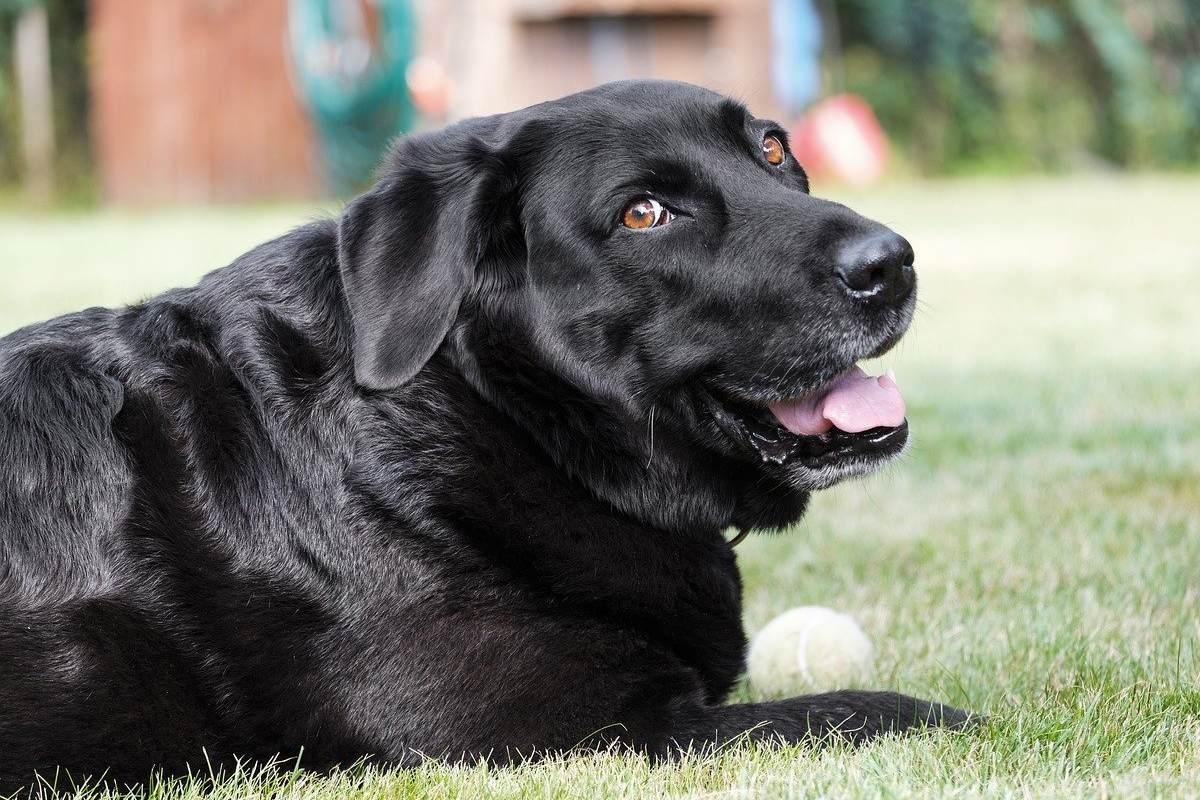 labrador nero con una pallina bianca
